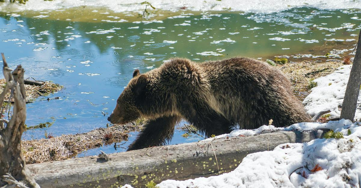 grizzly bear yellowstone trophy hunting