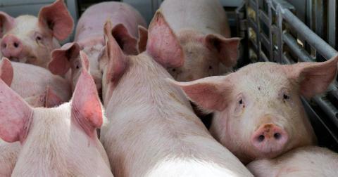 pigs-truck-1586889526935-1586953266292.jpg