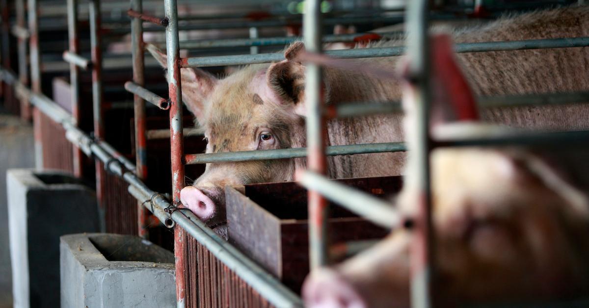 pigs flu