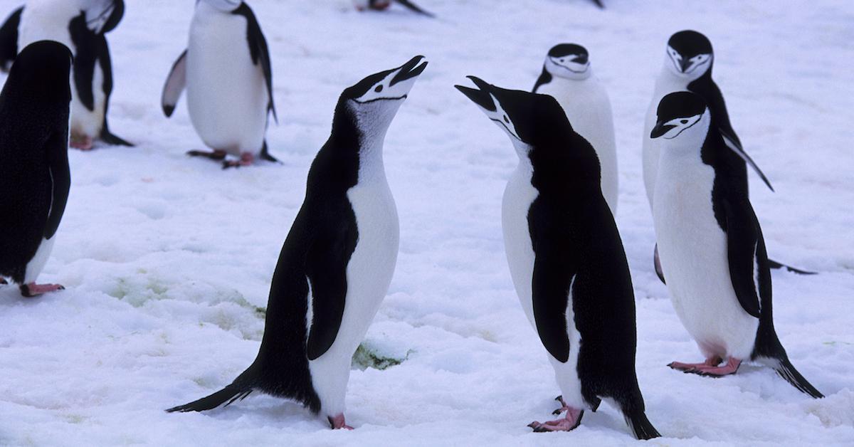 chinstrap-penguins-1581438964423.jpg