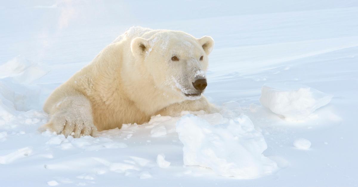polar bear cannibalism