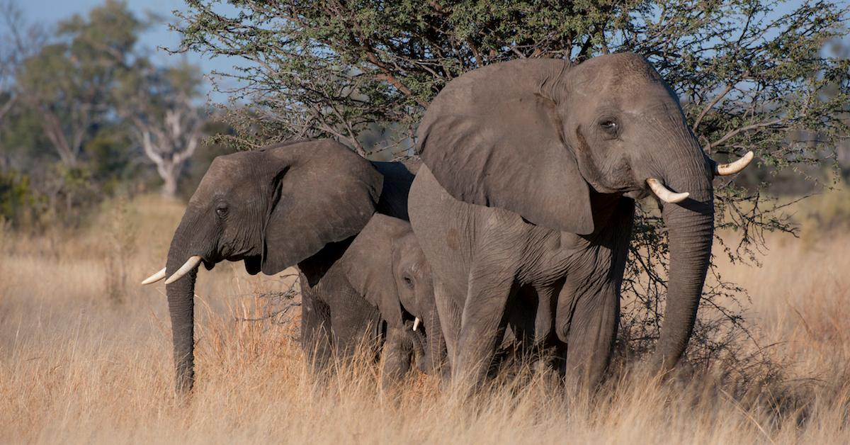 Botswana starts selling elephant-hunting licenses for the first time in five years