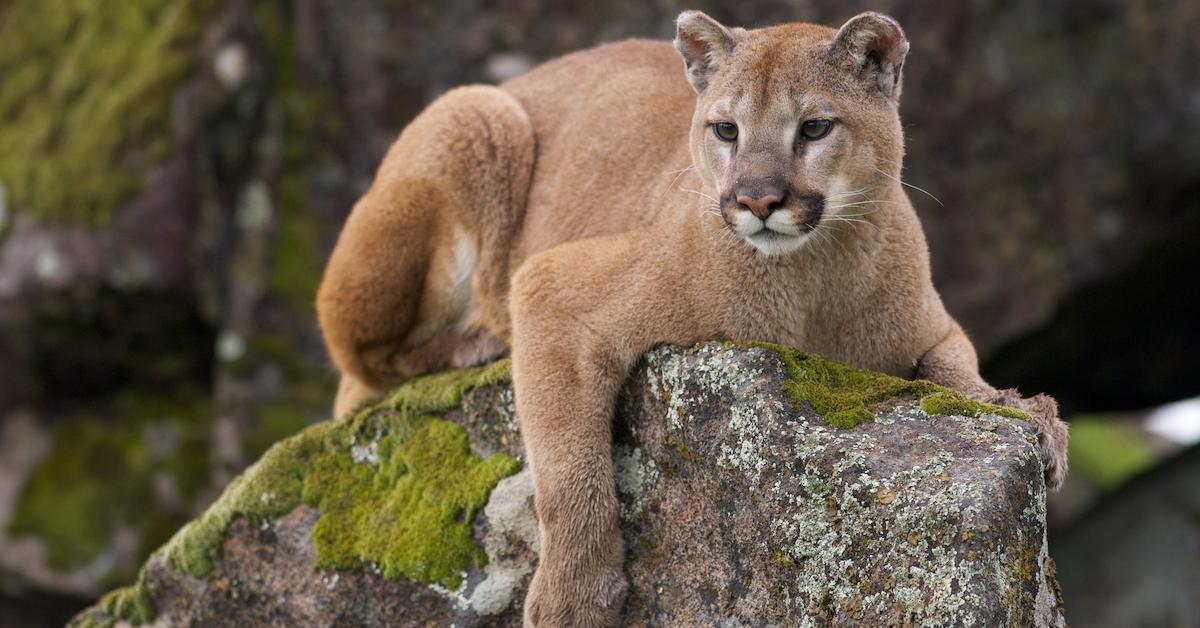 mountain-lion-1575907592470.jpg