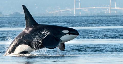 featured-orcas-1600096296719-1600169494449.jpg