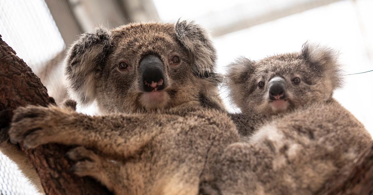 koalas returning to wild