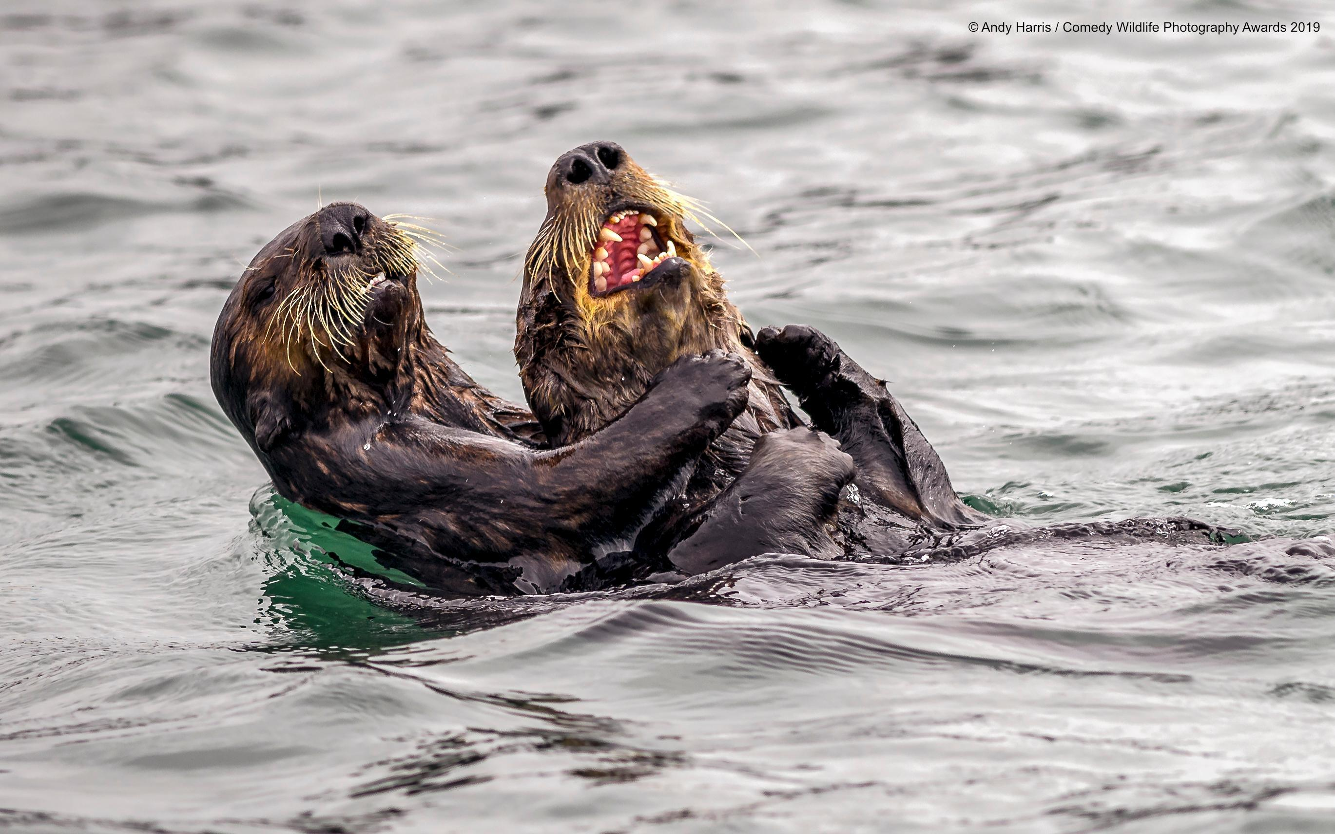 2-andy-harris_sea-otter-tickle-fight_00000064-1568311130076-1574771669218.jpg