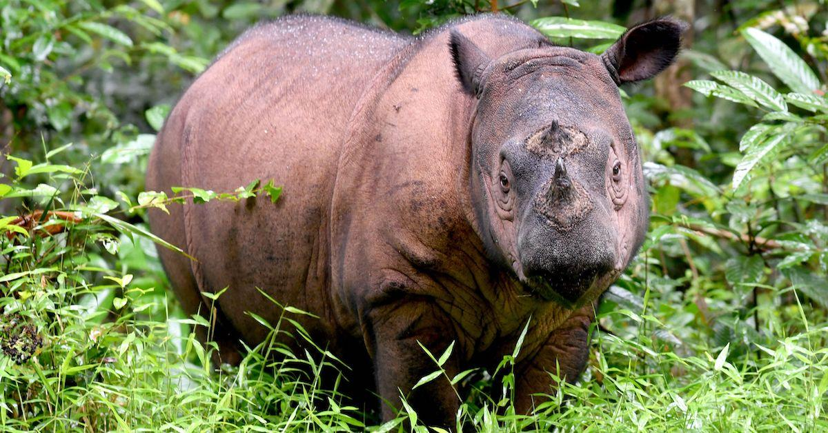 malaysia-declares-sumatran-rhinoceros-extinct-1574700239242.jpg