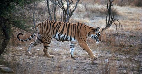 tiger-india-1582046155107.jpg