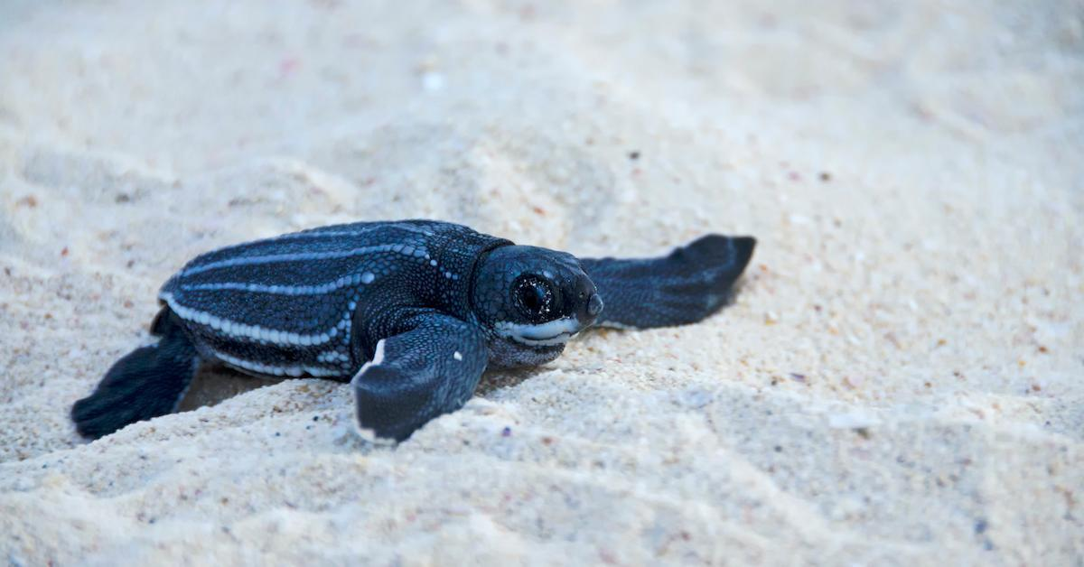 leatherback-sea-turtle-1588611187254-1588685246244.jpg