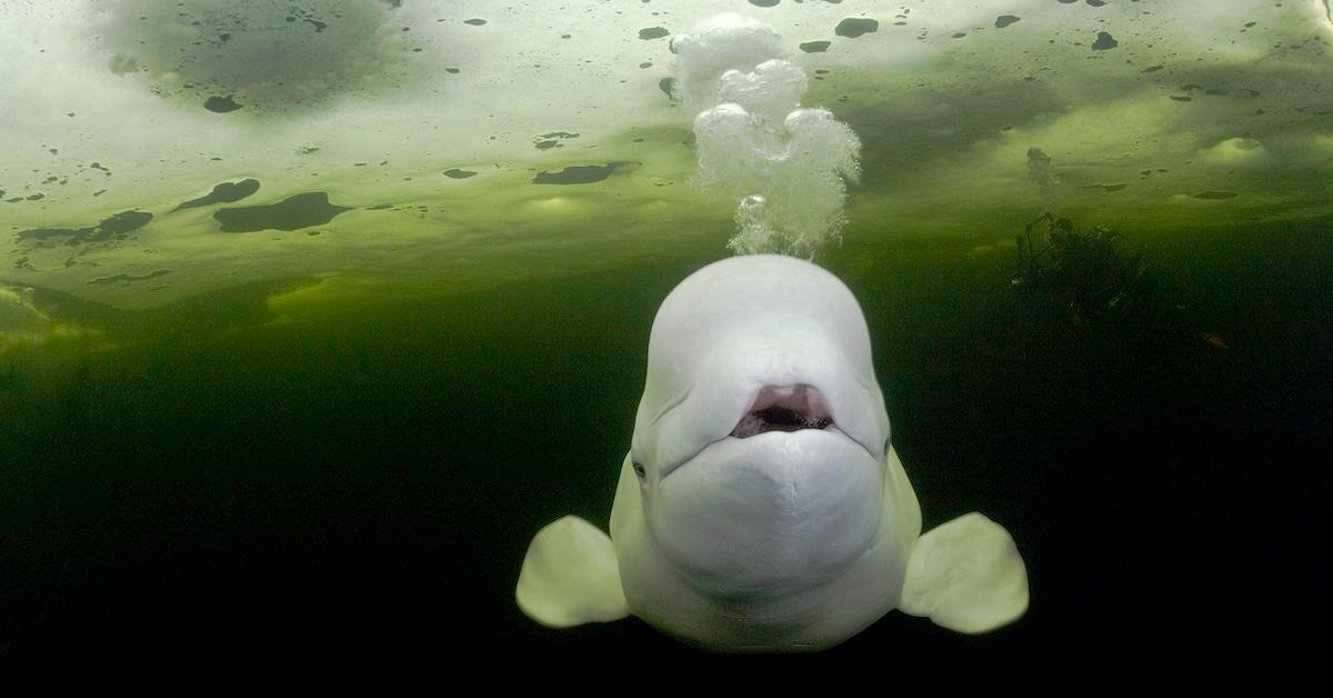 beluga whale endangered