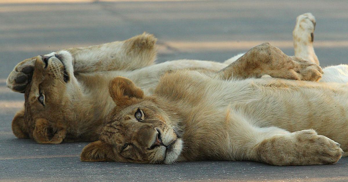kruger lions road