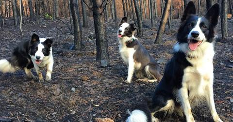 Border Collies are re-seeding Chile's burned forests after wildfires